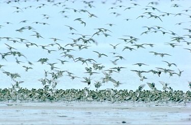 Dunlin (Calidris alpina) large flock landing on the beach, Europe  -  Flip de Nooyer