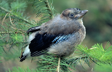 Eurasian Jay (Garrulus glandarius) fledgling shedding down, Europe  -  Flip de Nooyer