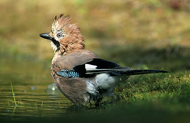 Eurasian Jay (Garrulus glandarius) adult with erect crest at water's edge, Europe  -  Flip de Nooyer