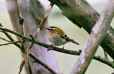 Firecrest (Regulus ignicapilla) adult perched on a branch, Europe  -  Flip de Nooyer