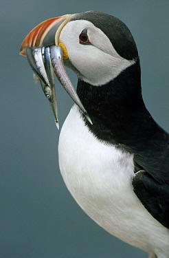 Atlantic Puffin (Fratercula arctica) adult with fish in its beak, Europe  -  Flip de Nooyer