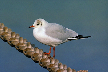 Black-headed Gull (Chroicocephalus ridibundus) adult on rope, Europe  -  Wil Meinderts/ Buiten-beeld