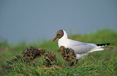Black-headed Gull (Chroicocephalus ridibundus) parent with chicks in the grass, Europe  -  Winfried Wisniewski