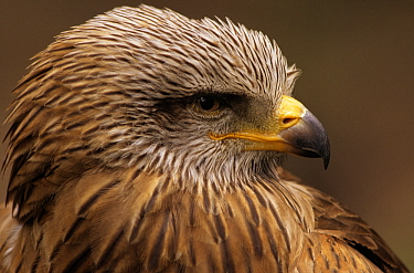 Black Kite (Milvus migrans) adult portrait, Europe  -  Martin van Lokven