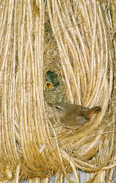 Eurasian Wren (Troglodytes troglodytes) chicks in nest among coils of twine calling to parent, Europe  -  Flip de Nooyer