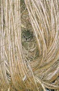 Eurasian Wren (Troglodytes troglodytes) adult at nest entrance among coils of twine, Europe  -  Flip de Nooyer
