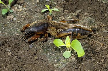 European Mole Cricket (Gryllotalpa gryllotalpa), Europe  -  Rene Krekels/ NIS