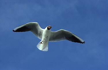 Black-headed Gull (Chroicocephalus ridibundus) adult flying overhead, Europe  -  Wil Meinderts/ Buiten-beeld