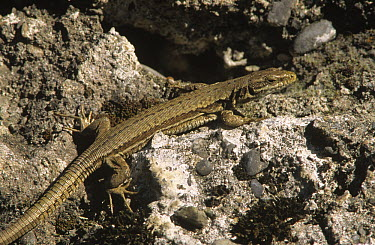 Common Wall Lizard (Podarcis muralis) on rock, Europe  -  Wim Klomp/ NiS
