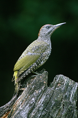 Eurasian Green Woodpecker (Picus viridis) juvenile perching on tree-stump, Europe  -  Flip de Nooyer