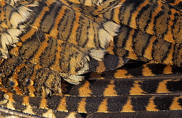 Eurasian Woodcock (Scolopax rusticola) close up of wing feathers showing water droplets, Europe  -  Wim Klomp/ NiS