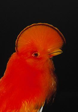 Guianan Cock-of-the-rock (Rupicola rupicola) adult male portrait, French Guiana  -  Flip de Nooyer