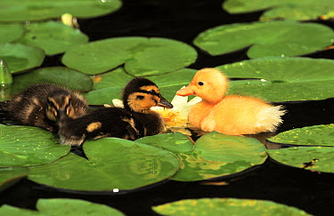 Mallard (Anas platyrhynchos) three ducklings swimming among water lily leaves, Europe  -  Rob Reijnen / NiS