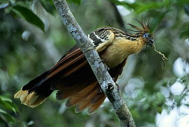 Hoatzin (Opisthocomus hoazin) adult with a twig in its beak for building a nest, Guyana  -  Flip de Nooyer
