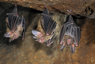 Fringe-lipped Bat (Trachops cirrhosus) three hanging upside-down in cave with one baring its teeth, Guyana  -  Wil Meinderts/ Buiten-beeld