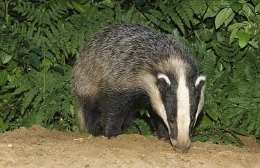 Eurasian Badger (Meles meles) adult sniffing the ground, western Europe  -  Flip de Nooyer