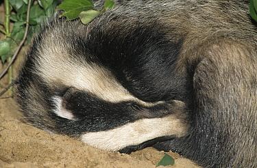 Eurasian Badger (Meles meles) adult curled-up and sleeping, western Europe  -  Flip de Nooyer