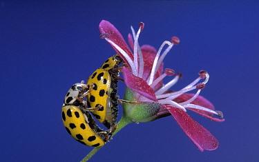 22-spot Ladybird (Psyllobora vigintiduopunctata) pair mating on a flower, Europe  -  Jef Meul/ NIS