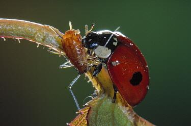 Two-spotted Ladybeetle (Adalia bipunctata) eating an aphid on a leaf, Europe  -  Jef Meul/ NIS