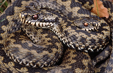 Common European Adder (Vipera berus) two adults coiled together, Europe  -  Flip de Nooyer