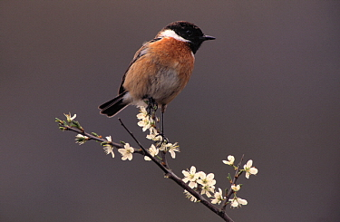 Common Stonechat (Saxicola torquata) adult male perched on branch with blossoms, Europe  -  Flip de Nooyer