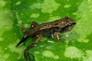 Common Frog (Rana temporaria) juvenile on leaf, still has larval tail, Europe  -  Jef Meul/ NIS