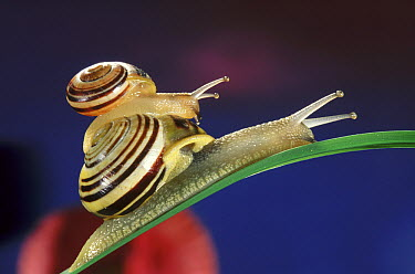 Brown-lipped Snail (Cepaea nemoralis) small snail riding on the shell of a larger snail, western Europe  -  Jef Meul/ NIS