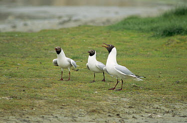 Black-headed Gull (Chroicocephalus ridibundus) trio calling, Europe  -  Frits van Daalen/ NiS