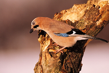 Eurasian Jay (Garrulus glandarius) adult perching on a snag, Europe  -  Duncan Usher