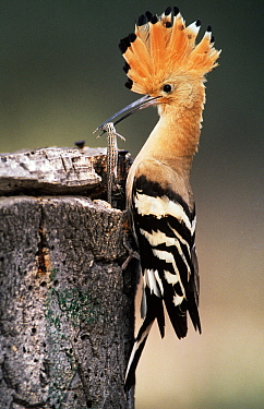 Eurasian Hoopoe (Upupa epops) adult with a lizard in its beak, Europe  -  Duncan Usher