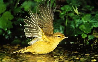 Willow Warbler (Phylloscopus trochilus) bathing, Europe  -  Duncan Usher