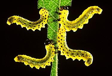 Sawfly (Craesus septentrionalis) four larvae on leaf in defense posture, Europe  -  Jef Meul/ NIS