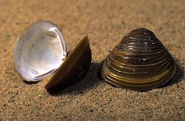 Asian Clam (Corbicula fluminea) shells on the beach, invasive species  -  Jan van Arkel/ NiS