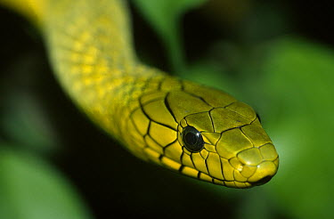 Green Mamba (Dendroaspis viridis) close up of head, venomous, east Africa  -  Ingo Arndt