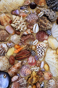 Various conch, cowry, clam and other marine shells