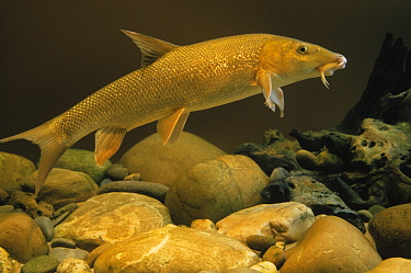 Barbel (Barbus barbus) freshwater fish, Europe  -  Wil Meinderts/ Buiten-beeld