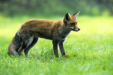 Red Fox (Vulpes vulpes) standing in grass, side view, Europe  -  Wil Meinderts/ Buiten-beeld