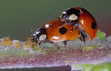 Two-spotted Ladybeetle (Adalia bipunctata) pair copulating among aphids, Europe  -  Jef Meul/ NIS