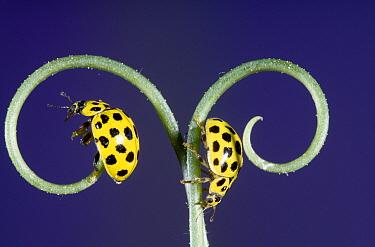 22-spot Ladybird (Psyllobora vigintiduopunctata), Europe  -  Jef Meul/ NIS