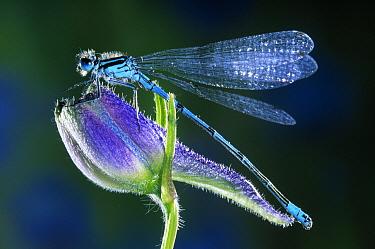 Blue-tailed Damselfly (Ischnura elegans) sitting on blue flower, Europe  -  Jef Meul/ NIS