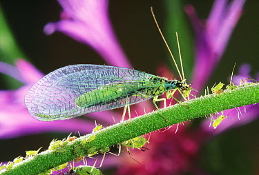 Green Lacewing (Chrysopa perla) feeding on aphids, Europe  -  Jef Meul/ NIS