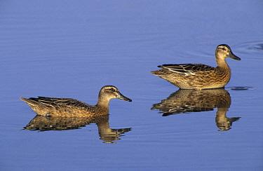 Garganey (Anas querquedula) females in water, Europe  -  Jan Sleurink/ NiS