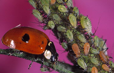 Two-spotted Ladybeetle (Adalia bipunctata) with aphid prey, Europe  -  Jef Meul/ NIS