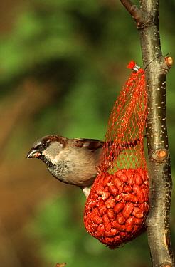 House Sparrow (Passer domesticus) male on feeder bag of peanuts, Europe  -  Do van Dijk/ NiS