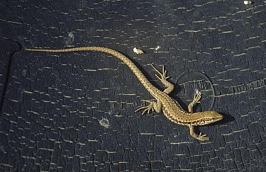 Common Wall Lizard (Podarcis muralis) on tree bark, Europe  -  Flip de Nooyer