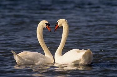 Mute Swan (Cygnus olor) pair courting, Europe  -  Flip de Nooyer