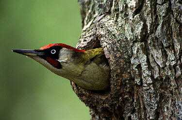 Eurasian Green Woodpecker (Picus viridis) peeking out of nest hole, Europe  -  Wim Klomp/ NiS