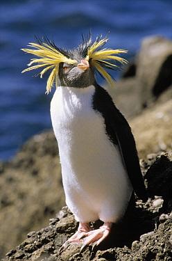 Southern Rockhopper Penguin (Eudyptes chrysocome) portrait, Antarctica  -  Rhinie van Meurs/ NIS
