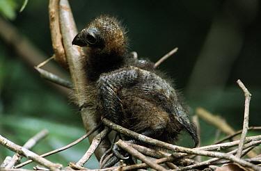 Hoatzin (Opisthocomus hoazin) chick, one week old, Guyana  -  Flip de Nooyer