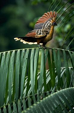 Hoatzin (Opisthocomus hoazin) balancing on branch, Guyana  -  Flip de Nooyer
